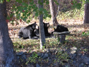 Mama and the cubs relaxing across the creek prior to the star-crossed lovers meeting.