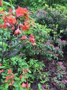 azalea laurel