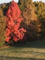 leaf russet